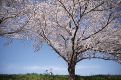 20150402_06 (Kei OKUDA) Tags: bike japan cherry spring blossom sakura sunnyday tsuchiura ibaraki