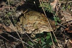 Liebestransport (emma_kleinschmidt) Tags: animals tiere toad migration