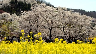 ✪花見山公園 -福島県福島市-
