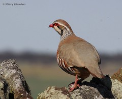 Red Legged Partridge (Explored) (Hilary Chambers) Tags: