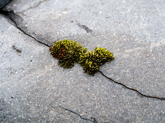 Moss making use of a crack