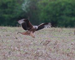 RED KITE (MILVUS MILVUS), SOUTH OXFORDSHIRE FARMLAND. (Gary K. Mann) Tags: red wild england kite bird canon wildlife south farmland british prey oxfordshire milvus