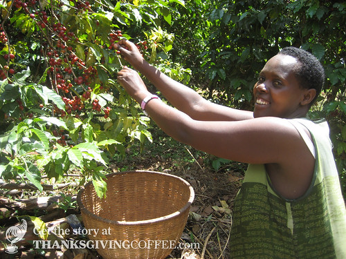 Picking Coffee by Hand