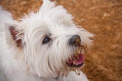 Descubriendo la playa (Miguel Angel O.F) Tags: espaa canon eos asturias playa luanco perro perros westy canoneos 2015 1000d ef18200