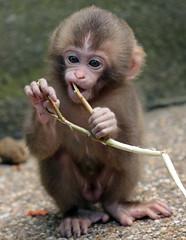 japanese macaque artis JN6A4011 (j.a.kok) Tags: artis macaque japanesemacaque makaak japansemakaak