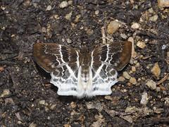 Odontoptilum pygela pygela (The Banded Angle) - Pyrginae (Green Baron Pro) Tags: butterfly lj malaysia raub hesperiidae pyrginae 201607 raublj