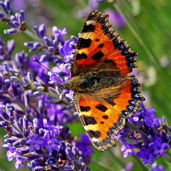 Small Tortoiseshell on Lavender (Lesley Jean) Tags: smalltortoiseshell lavender butterfly lordington westsussex tortoiseshell smalltortoiseshellbutterfly tortoiseshellbutterfly lavenderfields walderton aglaisurticae