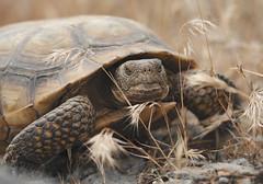 Desert Tortoise (Gopherus agassizii) (Gavin Beck (SnakeBuddies)) Tags: canon desert turtle reptile tortoise mojave mojavedesert mohave herpetology fieldherping llens desertlife canon7020028l canonlglass canon5diii