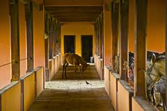 Donkey Curtsey (f/ames) Tags: donkey horses stable sunlight curtsey
