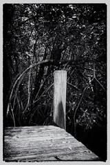 Mangrove landing (another_scotsman) Tags: blackandwhite monochrome dock florida mangrove everglades