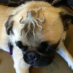 pug with octopus (wombatarama) Tags: pug