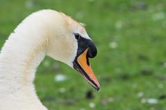 Swan (Mike Serigrapher) Tags: swan roman lakes mute marple mellor cygnus olor