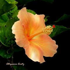 Hibisco/Hibiscus (Altagracia Aristy) Tags: hibisco cayena hibiscus laromana quisqueya repblicadominicana dominicanrepublic caribe carabe antillas antilles trpico tropic caribbean blackbackground altagraciaaristy fujifilmfinepixhs10 fujifinepixhs10 fujihs10 luzsolar sunlight fondonegro sfondonero