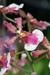 Mottled wine orchids