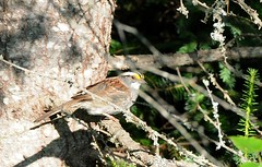 White-throated Sparrow (DRGorham) Tags: whitethroatedsparrow cumberlandcounty novascotia