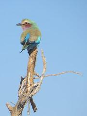Multi-colour (s_andreja) Tags: africa namibia etosha national park lilacbreastedroller bird