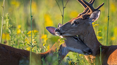 Hero (jmishefske) Tags: wehr buck nature center doe 2016 franklin antler wildlife d7100 velvet rack wisconsin august milwaukee whitetail whitnall nikon deer park