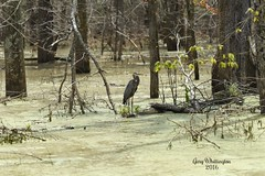 Great Blue Heron_6984 (2) (Porch Dog) Tags: summer bird heron nature outdoors kentucky wildlife july fx slough greatblueheron avian 2016 garywhittington nikond750 nikon200500mm