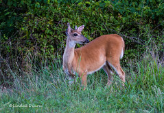 Young buck in velvet (Lindell Dillon) Tags: oklahoma nature wildlife deer buck tamron whitetail eos7d lindelldillon