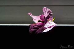 af1508_3618 (Adriana Fchter) Tags: brasil brazil       botanical garden flores  flowers   fiori  blumen fleurs bloemen blommor   fleur natureza  aard    natura  naturaleza day dia       macrofotografia makrofotografie  photographie  lhikuvaus  botanica flor blte flower fiore flora botnica botany botanique  botanik planta serenidade adrianafuchter