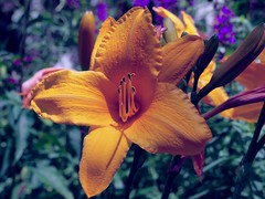 Lily (Professor Bop) Tags: professorbop drjazz flower nature lily outdoor olympus e5