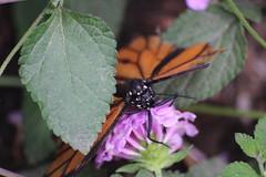 Mariposa y flor (jorge_pintos) Tags: macro valencia animal butterfly verano mariposa insecto oceanografic macrofotografia