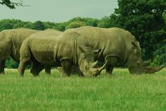 The Mob! (fergie_cat) Tags: woburn safari park rhion white herd