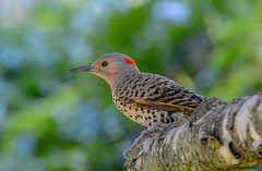 Northern Flicker (Summerside90) Tags: birds birdwatcher northernflicker july summer backyard garden nature wildlife ontario canada