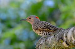 Northern Flicker (Summerside90) Tags: birds birdwatcher northernflicker july summer backyard garden nature wildlife ontario canada