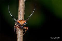 Longhorned orb weaver (Macracantha arcuata) - DSC_7790 (nickybay) Tags: malaysia pantiforest johor macro longhorned orb weaver spider araneidae macracantha arcuata