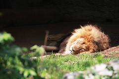 Lion around (RPahre) Tags: zoo sleep stlouis lion stlouiszoo