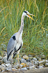 Heron near the water (Photography By Haylea) Tags: nature wild wildlife catching fish hunter hunt hunting great yarmouth waterways norfolk water uk england coast