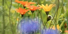 A flower jungle (Klaus  infrequently online ) Tags: glandularcapemarigold namaqualanddaisy orangenamaqualanddaisy buschigekapringelblume dimorphothecasinuata blumen flowers fiori flores fleurs  bloemen   blthanna blommor kukkia iek  blomster  bunga  kwiaty hoa  blm roe bungabunga cvijee