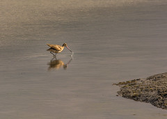 Curlew catching sand crabs in Baywood, Los Osos (Basak Prince Photography) Tags: montanadeoro bird centralcoast curlew dinner morrobay pacificcoasthighway rocks seascape water wildlife