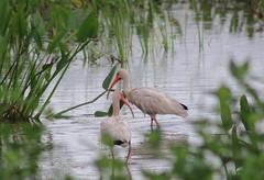 IMG_2413 (im2fast4u2c) Tags: bird white ibis wildlife animal