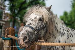 070fotograaf_20160728_026.jpg (070fotograaf, evenementen fotograaf) Tags: 070fotograaf 2016 juli paarden paardenmarkt voorschoten