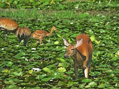 Doe and Crane family in the Water Lillies (Photos by the Swamper) Tags: sandhillcranes whitetaildeer doe lilypads