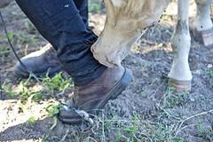 Got de pantalon (thomaslefloch) Tags: cheval poulain pied naseau nez calvados chaussure danestal anasviel