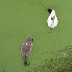 Bijna volgroeid (Olga and Peter) Tags: zwanen swans kroos duckweed diemen zwanenpad fimg14820