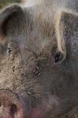Pig Portrait (Let Ideas Compete) Tags: pig hog face eye eyes snout nostrils nose hair