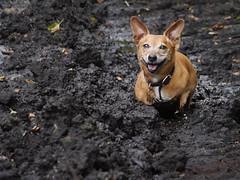 33/52 Stuck-in-the-mud (jump for joy2010) Tags: uk england somerset burtle peat mud black glurpy cool dogs terrier hotdog jackrusselldachshund small brown dirty happy hot chum charlie august 2016 52weeksfordogs week33