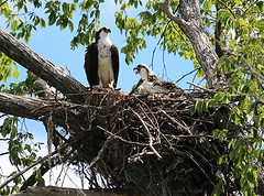 Osprey (adult with a juvenile) (Sue D Sharpe) Tags: osprey juvenile nest naturalnest marsh water bobcaygeon kawarthalakes ontario canada