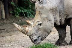 rhino (THinLou) Tags: animals louisvillezoo