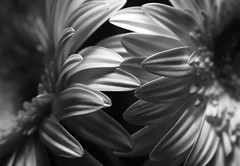 Daisy & Daisy (j.towbin ©) Tags: allrightsreserved© daisy bw blackwhite monochrome two 2 gerberdaisy flowers macromondays flowersinbw