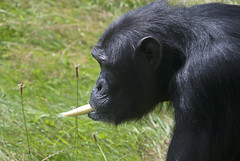 Playing the sweetcorn kazoo (vic_sf49) Tags: vicsf49 uk england dorset monkeyworld cronin