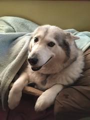 All Tucked In (redwolfoz) Tags: pod dog husky siberianhusky grey malamute alaskanmalamute