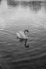 Cygne (Chlo Pichouron) Tags: cygne oiseau oiseaux noiretblanc irrel rve rverie mlancolie