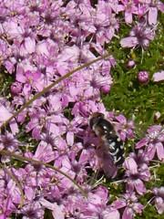 Witte halvemaanzweefvlieg (Scaeva pyrastri) (Frank Berbers) Tags: insect diptera tweevleugeligen syrphidae zweefvlieg schwebfliege hoverfly halvemaanzweefvlieg wittehalvemaanzweefvlieg scaevapyrastri halvemaanzwever scaeva spätegrosstirnschwebfliege halbmondschwebfliege piedhoverfly ♂ zwitserland schweiz suisse zwitserland2016 bettmeralp