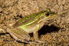 Green and Golden Bell Frog (Litoria aurea) (peter soltys) Tags: petersoltys herping frogging adventure photobycy macro photo photography evolution nature wild wildlife canon frog amphibia amphibiant greenandgoldenbellfrog litoria aurea