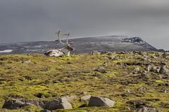Reindeer in the Icelandic highlands (Benedikt Halfdanarson) Tags: hreindr reindeer rangifertarandus iceland slenskhreindr